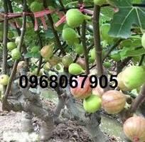 2 Giống cây sung Mỹ cho quả, siêu ngọt, giống cây trồng kinh tế cao