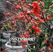 Hoa mai đỏ - tết 2019
