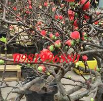 4 Hoa mai đỏ - tết 2019