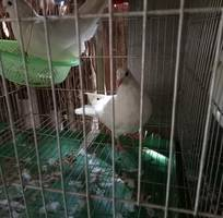 3 Bán Chim bồ câu Giống - thịt Uy tín tại Hà Nội