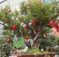 4 Lựu đỏ Ai Cập,trái to ,đỏ, ngọt đậm nhiều nước