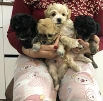 4 Bán chó poodle thuần chủng, bảo hành bệnh