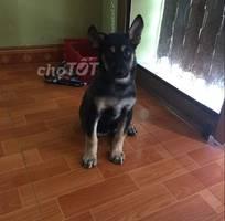 1 Chó lai becgie 4 tháng tuổi