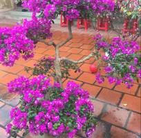 4 Bán cây hoa giấy tán đẹp, hoa đẹp