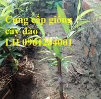 3 Chuyên cung cấp giống cây đào bích, đào bạch, đào phai, hoa đào cánh kép, số lượng lớn