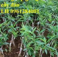 4 Chuyên cung cấp giống cây đào bích, đào bạch, đào phai, hoa đào cánh kép, số lượng lớn