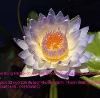 1 Bán hoa Súng Thái Lan với 120 màu sắc đẹp khoe sắc quanh năm giữa lòng Hà Nội