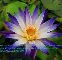 5 Bán hoa Súng Thái Lan với 120 màu sắc đẹp khoe sắc quanh năm giữa lòng Hà Nội