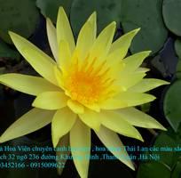 7 Bán hoa Súng Thái Lan với 120 màu sắc đẹp khoe sắc quanh năm giữa lòng Hà Nội