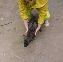 Chó Phú Quốc mầu vện