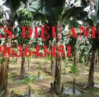 7 Cung cấp cây giống chuối cấy mô: Chuối tiêu hồng, chuối già lùn, chuối laba, chuối Nam Mỹ