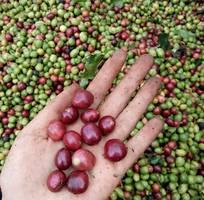4 Cà phê Buôn Ma Thuột  cà phê CHỒN cao cấp   500g   Hộp quà tặng, quà biếu