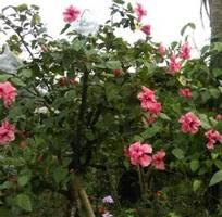 1 Cây hoa dâm bụt kép hồng