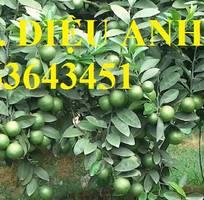 6 Cung cấp cây giống chanh: chanh tứ quý, chanh không hạt, chanh đào, chanh tứ thời siêu quả, uy tín