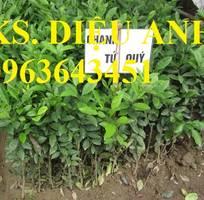 7 Cung cấp cây giống chanh: chanh tứ quý, chanh không hạt, chanh đào, chanh tứ thời siêu quả, uy tín