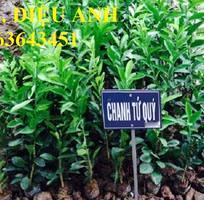 10 Cung cấp cây giống chanh: chanh tứ quý, chanh không hạt, chanh đào, chanh tứ thời siêu quả, uy tín