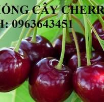 8 Cung cấp cây giống, cây trưởng thành cherry anh đào, cherry Mỹ, cherry Brazil, cherry nhiệt đới xịn