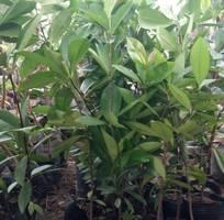 9 Cung cấp cây giống chà là, cây chà là, giống cây chà là Thái chuẩn, uy tín, giao hàng toàn quốc