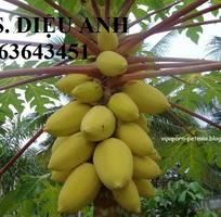 4 Cung cấp cây giống, hạt giống đu đủ lùn cao sản Thái Lan, đu đủ vàng lùn cảnh tím, đu đủ lùn da xanh