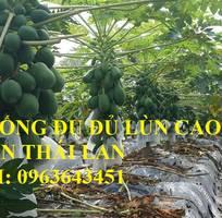 8 Cung cấp cây giống, hạt giống đu đủ lùn cao sản Thái Lan, đu đủ vàng lùn cảnh tím, đu đủ lùn da xanh