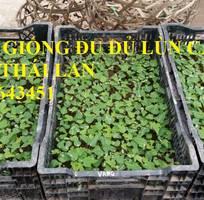 14 Cung cấp cây giống, hạt giống đu đủ lùn cao sản Thái Lan, đu đủ vàng lùn cảnh tím, đu đủ lùn da xanh