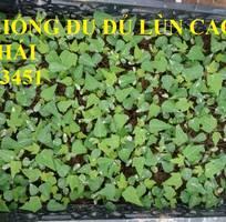 15 Cung cấp cây giống, hạt giống đu đủ lùn cao sản Thái Lan, đu đủ vàng lùn cảnh tím, đu đủ lùn da xanh