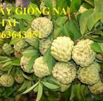 10 Cung cấp cây giống na Thái Lan, cây giống na hoàng hậu, na dai Thái Lan trồng kinh tế hiệu quả cao