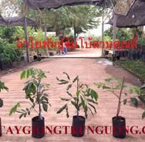 1 Cung cấp cây giống nhãn tím, nhãn vỏ tím, nhãn không hạt nhập khẩu Thái Lan chuẩn, bảo hành giống