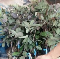 5 Cung cấp cây giống nhãn tím, nhãn vỏ tím, nhãn không hạt nhập khẩu Thái Lan chuẩn, bảo hành giống