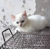 Mèo anh lông dài 2,5 tháng