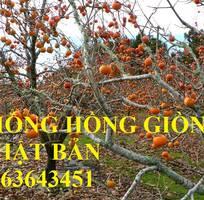 5 Cung cấp cây giống hồng giòn Nhật Bản, hồng giòn MC1, hồng Fuju Nhật, hồng không hạt chuẩn, giá tốt