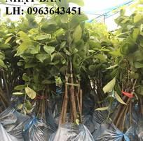 7 Cung cấp cây giống hồng giòn Nhật Bản, hồng giòn MC1, hồng Fuju Nhật, hồng không hạt chuẩn, giá tốt