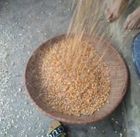 Bán ngô hạt đã phơi khô