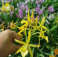 Hoa lan brass cây giống