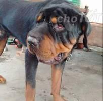 Rottweiler đực 13 tháng