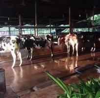 5 Sữa bò tươi nguyên chất 100 , sữa nguyên liệu  chưa nấu   , sữa đã thanh trùng đóng chai