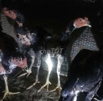 Nhiều gà chọi trống k có chỗ nhốt nên bán bớt ai t