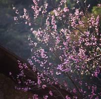 Tour tết hà giang giá rẻ , miền đá nở hoa cùng cánh đào , cánh mơ nở rộ khắp bản làng