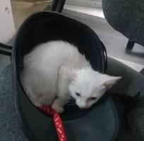Mèo lai nga trắng không tì vết