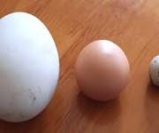6 Trứng ngỗng quê, trứng ngỗng sạch 100