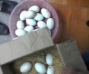 10 Trứng ngỗng quê, trứng ngỗng sạch 100