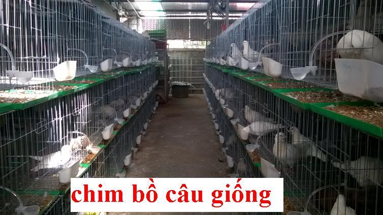 5 Bán chim bồ câu pháp giống,chim bồ câu thịt tại hà nội
