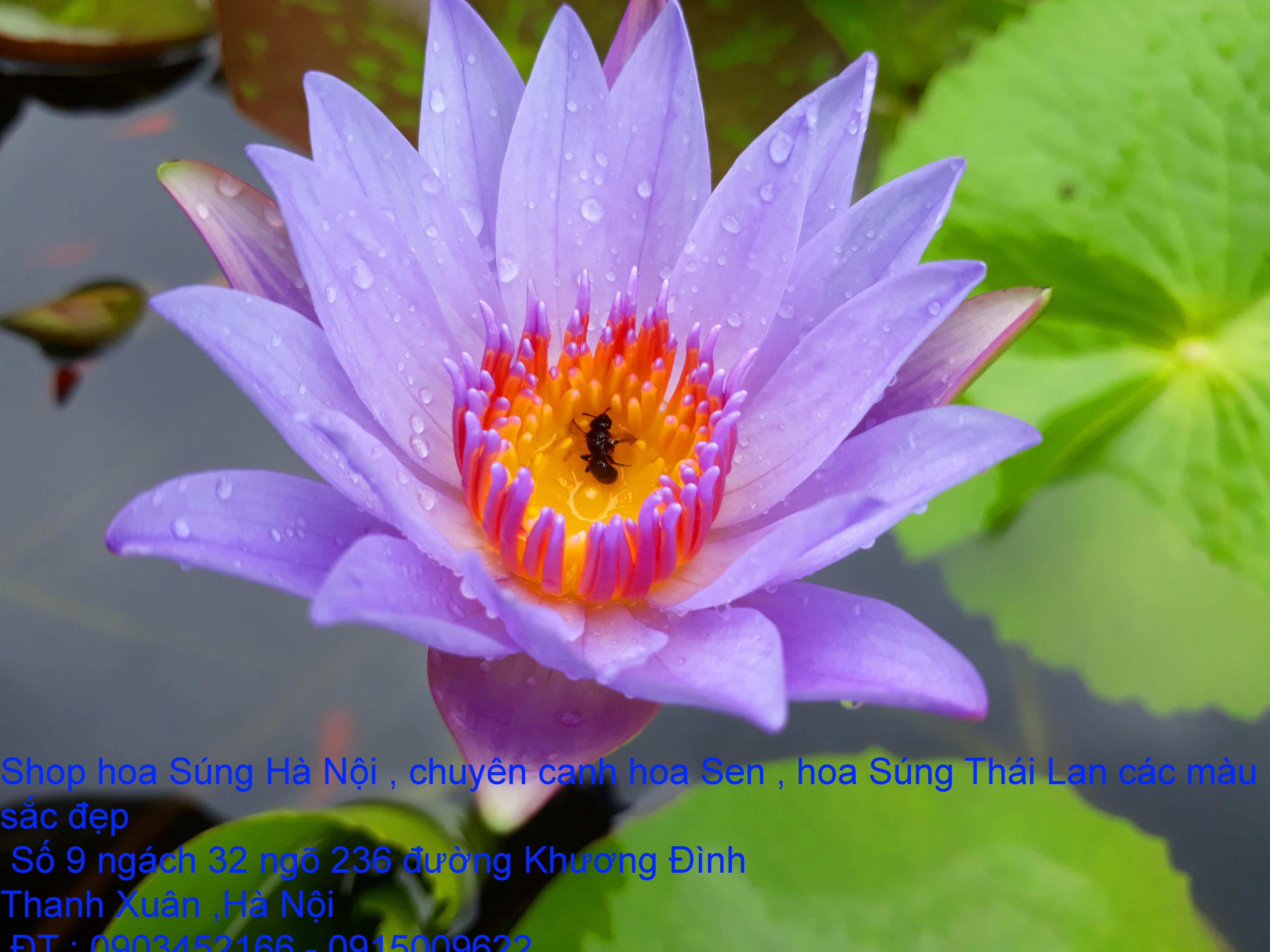 8 Bán hoa Súng Thái Lan với 120 màu sắc đẹp khoe sắc quanh năm giữa lòng Hà Nội
