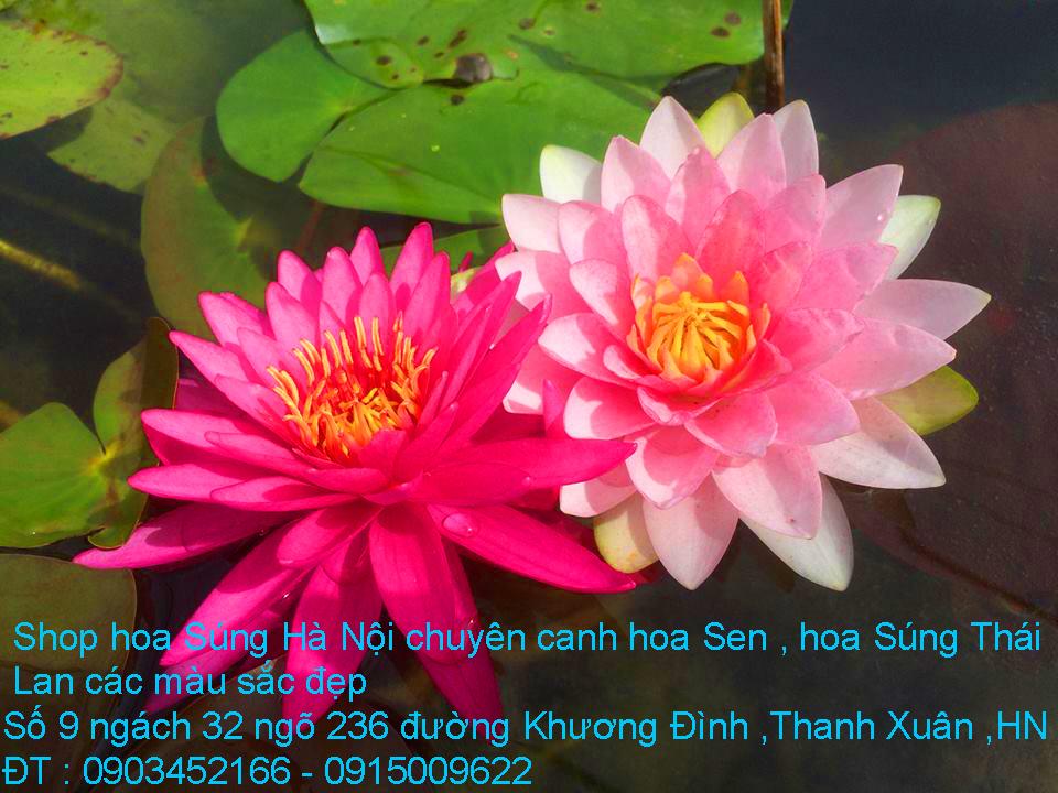 12 Bán hoa Súng Thái Lan với 120 màu sắc đẹp khoe sắc quanh năm giữa lòng Hà Nội